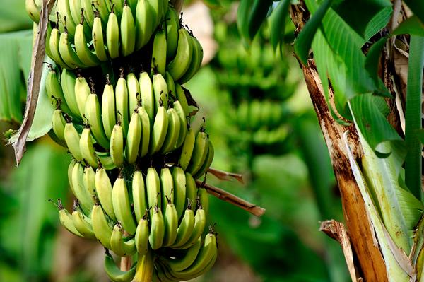 banana-tree-europe